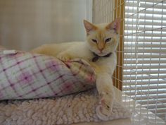 Meet Colonel, a Petfinder adoptable Siamese Cat | Salt Lake City, UT | Colonel sure has a positive attitude considering he lost his home.  Turns out his family didn't...