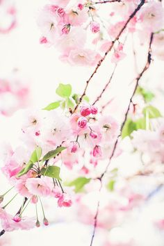 "floralls: "" Cherry Blossom (by RebeccaDalePhotography) "" Beautiful Mind, Beautiful World, Beautiful Flowers, White Cherry Blossom, Cherry Blossoms, Scenery Wallpaper, Real Plants, Blossom Trees, Spring Day"