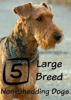 Looking For The Best Looking For The Best Large Dog Breeds That Don T Shed Check Out Our Top Dog Breeds That Dont Shed Large Dog Breeds Best Large Dog Breeds
