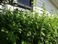 Livin' In The Green: Tea-licious with Lemon Balm
