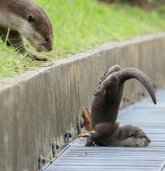 Baby otter hasn't mastered walking yet Vancouver, British Columbia 🇨🇦 // Cute Otter, Otters Cute, Otter Love, Baby Otters, Cute Little Animals, Cute Funny Animals, Funny Cats, Nature Animals, Animals And Pets