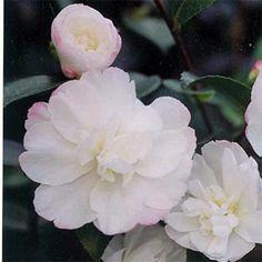 Camellia Sasanqua - Pure Silk