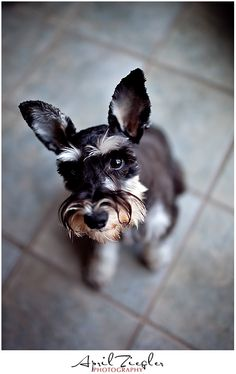 Lucy by April Ziegler Miniature Schnauzer.  She looks like our Ludwig!