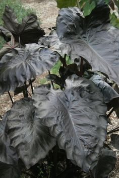 *Colocasia 'Black Coral' represents an amazing breeding breakthrough, forming a tall clump of very glossy, jet-black leaves with heavy corrugation. Creekside across from canna bed. 10 May 2016 Elephant Ear Bulbs, Elephant Ear Plant, Elephant Ears, Bog Garden, Garden Plants, Rain Garden, Patio Plants, Tall Plants, Foliage Plants