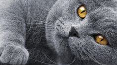 British shorthair - reminds me a little bit of my Beddi.