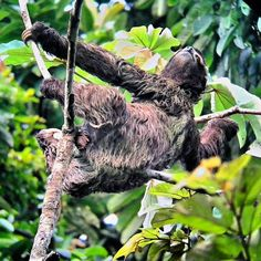Is there any better way to enjoy life in the jungle than the sluggish, peaceful and contemplative crawl of the sloth?