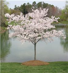 Yoshino Cherry Tree Its Oriental branching pattern displays a pure white cloud of delicate flowers that make your landscape look like springtime on parade…   Chose this tree to –   • Border driveways  • Accent small areas in your lawn  • Highlight outdoor living areas