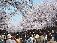 If you ever visit Tokyo, go to Ueno Park while the cherry blossoms are in bloom in late March to early April. It's breathtaking.