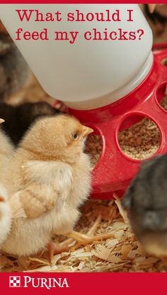 What should you feed your new chicks?  For chicks who will later lay eggs, select a feed that has 18% protein, like Purina® Start & Grow® Premium Poultry Feed.   For meat birds and mixed flocks, choose a complete feed with 20% protein, like Purina® Flock Raiser® Crumbles.   Transition layer chicks onto a higher-calcium complete feed, like Purina® Layena® Crumbles or Pellets, when they begin laying eggs at age 18 to 20 weeks.