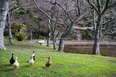 Ducks at McLaren Falls Park, Tauranga New Zealand Lakes, Falls Park, Autumn Park, Ducks, Birds, Photography, Photograph, Bird, Photo Shoot