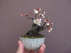 盆栽:野梅が咲く |春嘉の盆栽工房