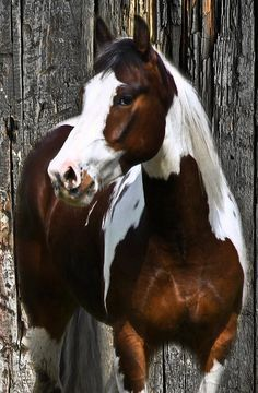 "western quarter paint horse paint pinto horse Gypsy Vanner Indian pony, ""maybe one of these days asrking with my camaro! Most Beautiful Animals, Beautiful Horses, Beautiful Creatures, Horse Photos, Horse Pictures, Animal Pictures, Caballo Tobiano, Cheval Pie, American Paint Horse"