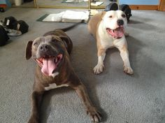 19 Smiling Pit Bulls Who Are Really, Really, Really Happy