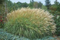 Miscanthus sinensis Adagio - Progressive Plants/ adagio maiden grass