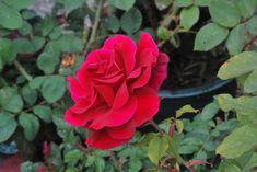 All roses are beautiful, but fragrant roses are extraordinary. This guide lists the best types of fragrant roses and includes helpful growing tips. Garden Design Plans, Cottage Garden Design, Japanese Garden Design, Mr Lincoln Rose, Exotic Flowers, Beautiful Flowers, Planting Roses, Garden Roses, Rose Plant Care