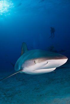 Caribbean Reef shark by Jaw's Dad Underwater Creatures, Underwater Life, Ocean Creatures, Shark Art, Reef Shark, Deep Blue Sea, Shark Week, Sea And Ocean, Sea World