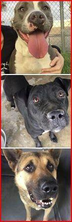 "RT/FBURGENT:""Will be KILLED""#CA Variety of Puppies-GERMAN SHEPHRD & PITBULLS-Click pics on https://www.facebook.com/AnimalIntervention/posts/904194282932046 …"