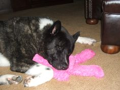 My akita Sake Akita Puppies, Akita Dog, Dogs And Puppies, Loyal Dog Breeds, Loyal Dogs, American Akita, Getting A Puppy, Kinfolk, Inu