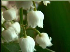 """May is originally """"La Fête du Travail"""" or Labor Day in France but it is also """"La Fête du Muguet"""" a celebration which dates back to the Renaissance during Charles IX. St Jerome, 1. Mai, French Songs, Luxury Soap, Language Of Flowers, Lily Of The Valley, Geraniums, May, Te Amo"""