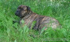 Foto de un perro atigrado de la raza Bullmastiff (Photo of a brindle dog of the breed Bullmastiff)