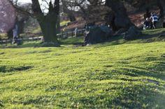 mech na trawniku Moss Lawn, Flotsam And Jetsam, Grass Seed, Tree Trunks, Water Systems, Oak Tree, Greenery, Plants, Outdoor