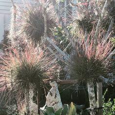 #tillandsias  #airplantsofinstagram  #airplants #gardenstyle #soulgarden #afternoonlight #waysofseeing #nature #natural Ways Of Seeing, Garden Styles, Air Plants, Natural, Instagram, Nature, Au Natural
