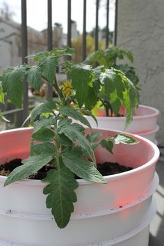 Planting Tomatoes in Buckets