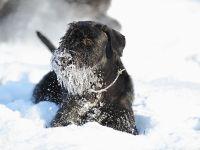 Schnauzer im Schnee