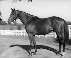 Australian-bred Shannon, winner of the Hollywood Gold Cup, at Spendthrift Farm in 1951. Keeneland-Meadors.