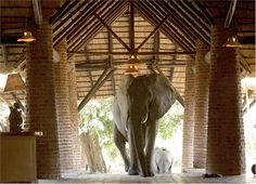 I want to stay at the Mfuwe Lodge on my African Safari, it was built on an elephant migratory path and the elephants literally walk through the lodge grounds!