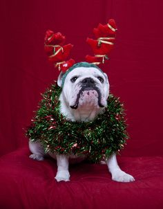 The Bulldog, likewise referred to as the British Bulldog or English Bulldog, is a medium-sized breed of . Breeders have worked to reduce/remove host. Bulldog Puppies For Sale, English Bulldog Puppies, English Bulldogs, British Bulldog, Corgi Puppies, French Bulldogs, Baby Bulldogs, Cute Bulldogs, Christmas Puppy