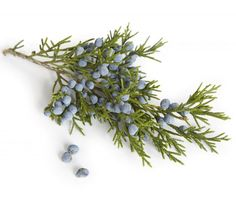 Juniper berries are used most often in the treatment of urinary problems like edema kidney stones and lower back pain. Juniper is helpful in the treatment of gout bursitis muscle pain and rheumatoid arthritis because it helps to prevent the buildup Healing Herbs, Medicinal Plants, Natural Healing, Herbal Remedies, Home Remedies, Natural Remedies, Juniper Berry Essential Oil, Natural Essential Oils, Natural Medicine