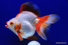 Red/White Broadtail Ryukin » DandyOrandas.com