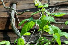 "Pictures of Poison Ivy: Pictures of Poison Ivy -- ""Beware of Vine!"""