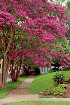 """Crepe Myrtles Nothing says summer in the South like crepe myrtles. They grow so easily and bloom so long that we love them like family members—except in late winter and spring, when they are routinely chopped down to thick, ugly stumps (a crime known as """"crepe murder""""). A big reason people do this is because they'll buy a crepe myrtle only for its color without checking how big their plant will get. So when it inevitably blocks the upstairs windows, out comes the pruning saw...."""