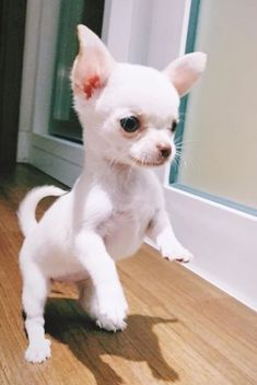 Teacup Chihuahua Puppies, Cute Chihuahua, Cute Dogs And Puppies, Baby Dogs, Teacup Pomeranian, Doggies, Pet Dogs, Cute Animal Pictures, Funny Dog Pictures