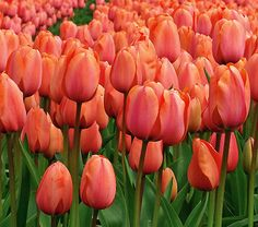 Gardeners have been waiting for a greater range of color in Darwin Hybrids, and it's here! 'Apricot Impression' also has larger and longer-lasting blooms than the popular Triumph Tulip 'Apricot Beauty'. The Darwin