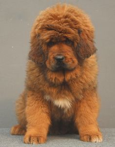Amazing Tibetan Mastiff Chubby Adorable Dog - 19902fcef8d102d1ff352801c056a0e3--huge-dogs-fashion  HD_968830  .jpg