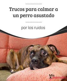 Trucos para calmar a un perro asustado por los ruidos Un perro asustado por los ruidos, podría ponernos nerviosos. Pero tranquilo, hy trucos para ayudarle y sobretodo, debes entender que es normal. #consejos #ruidos #trucos #calmar