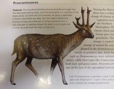 Procranioceras skinneri - Google Search