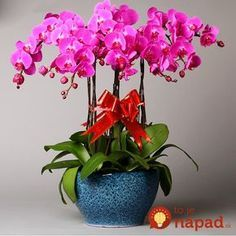 Cheap orchid seeds, Buy Quality seeds flower seed directly from China seeds indoor Suppliers: Authentic Phalaenopsis Orchid Seeds Flower Seeds Indoor Bonsai Orchids 100 particles / lot Rare Orchids, Phalaenopsis Orchid, Orchid Plants, Rare Flowers, Amazing Flowers, Orchid Seeds, Flower Seeds, Flower Pots, Indoor Flowers