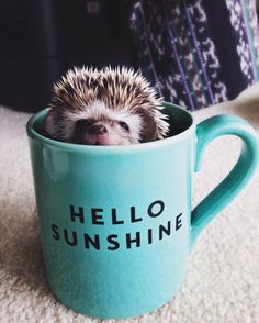 25 Funny and Adorable Hedgehog Pictures That Will Make You Want One Happy Hedgehog, Hedgehog Pet, Cute Hedgehog, Animals And Pets, Baby Animals, Funny Animals, Cute Animals, Small Animals, Beautiful Creatures