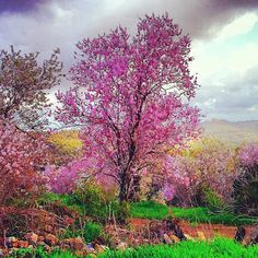 Pink almond tree in Israel