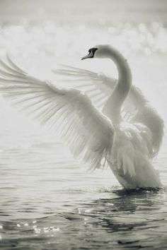 Blogger Pixz: Birds.....Swan...♥♥♥
