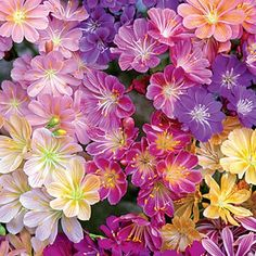 """Rainbow Lewisia Mix - Prized for its compact habit and heavy blooming ability. Height 8-10"""". Zones 5-8"""