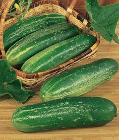 Cucumber, Straight Eight - Heirloom. A cucumber superstar. Pick when cucumbers are long for top flavor. Grow on a fence or space saving trellis netting. Sow seeds apart in rows, or plant seeds in groups (hills) 4 to apart. Approx 58 days to maturity. Cucumber Plant, Cucumber Seeds, Cucumber Trellis, Fruit And Veg, Fruits And Veggies, Avocado Health Benefits, Victory Garden, Organic Gardening, Vegetable Gardening
