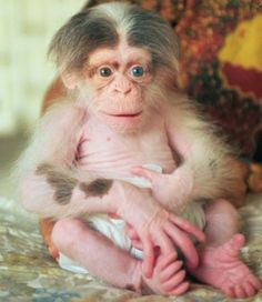 Albino baby chimp.  He'd make such a great little brother for Bruce!!!
