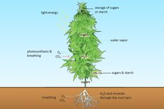 The Structure And Fucntion Of A Marijuana Plant : Grasscity Magazine
