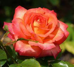 Christelike Boodskappies: Christus in jou Afrikaans, Love Flowers, Roses, Gardens, Plants, Photography, Flowers, Pink, Rose