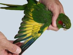 Sulphur-winged Parakeet aka Hoffmann's Parakeet (Pyrrhura hoffmanni)